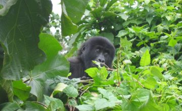 #WorldGorillaDay State of the Apes: Extractive Industries and Ape Conservation